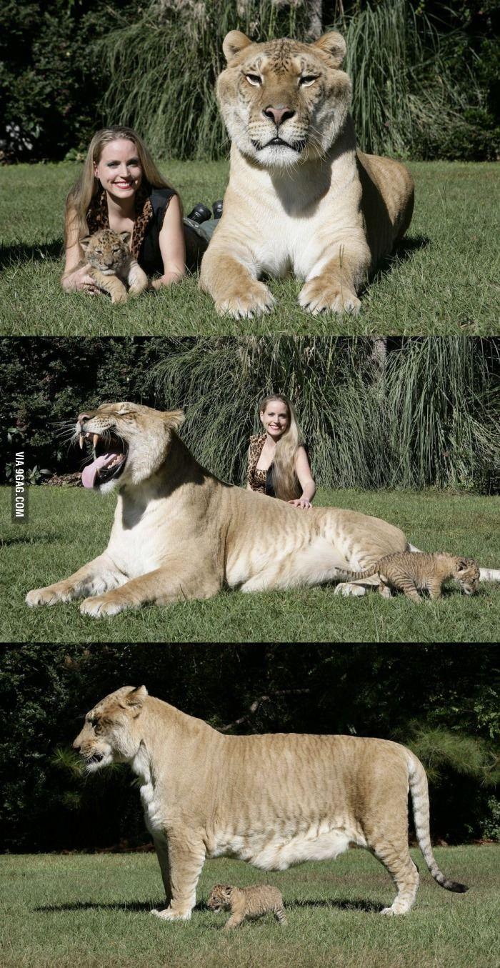The worlds largest Liger Animals beautiful, Animals