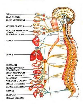 The White Heron: Chakra OverviewI am very excited about this picture to the left.  I found it on a medical site, and it shows what those nerves are connected to.  I have a list I will share of what each chakra involves, as far as I know.