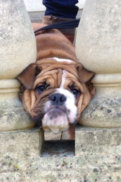 London Greater London United Kingdom Bulldog Breeds Baby Dogs
