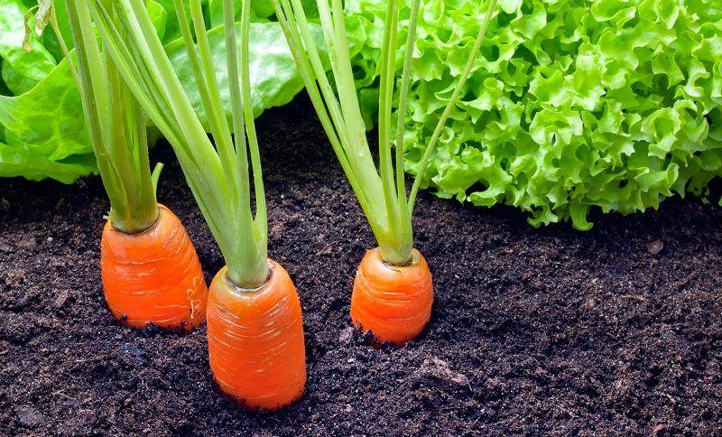 Carrot Companion Planting Greenhouse Gardening 400 x 300