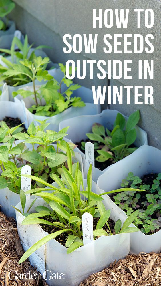 How to sow seeds outdoors in winter #wintergardening