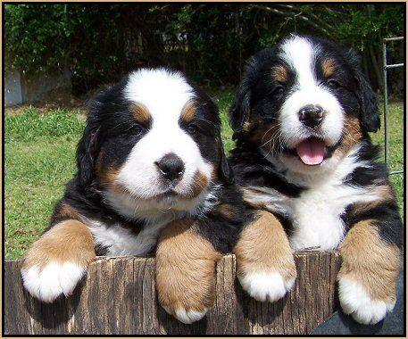 bernese mountain dog puppies...love!