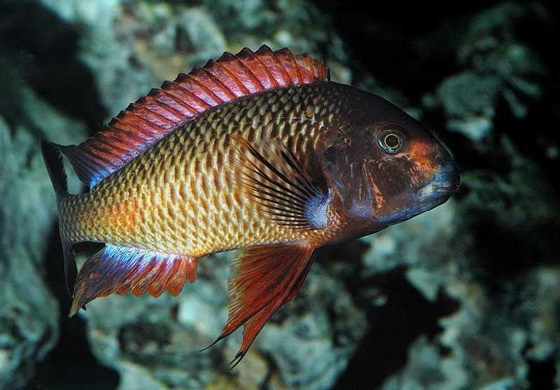 Tropheus Kachese Cichlids African Cichlids Beautiful Fish