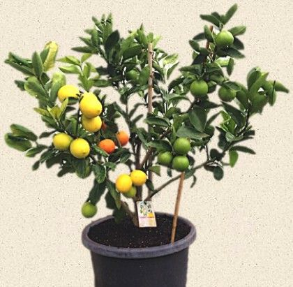 I Have Always Wanted This This Will Happen One Day Fruit Salad Tree Fruit Trees Backyard Citrus Trees