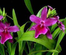 Orchideeen-shop.nl - Miltonia Honolulu