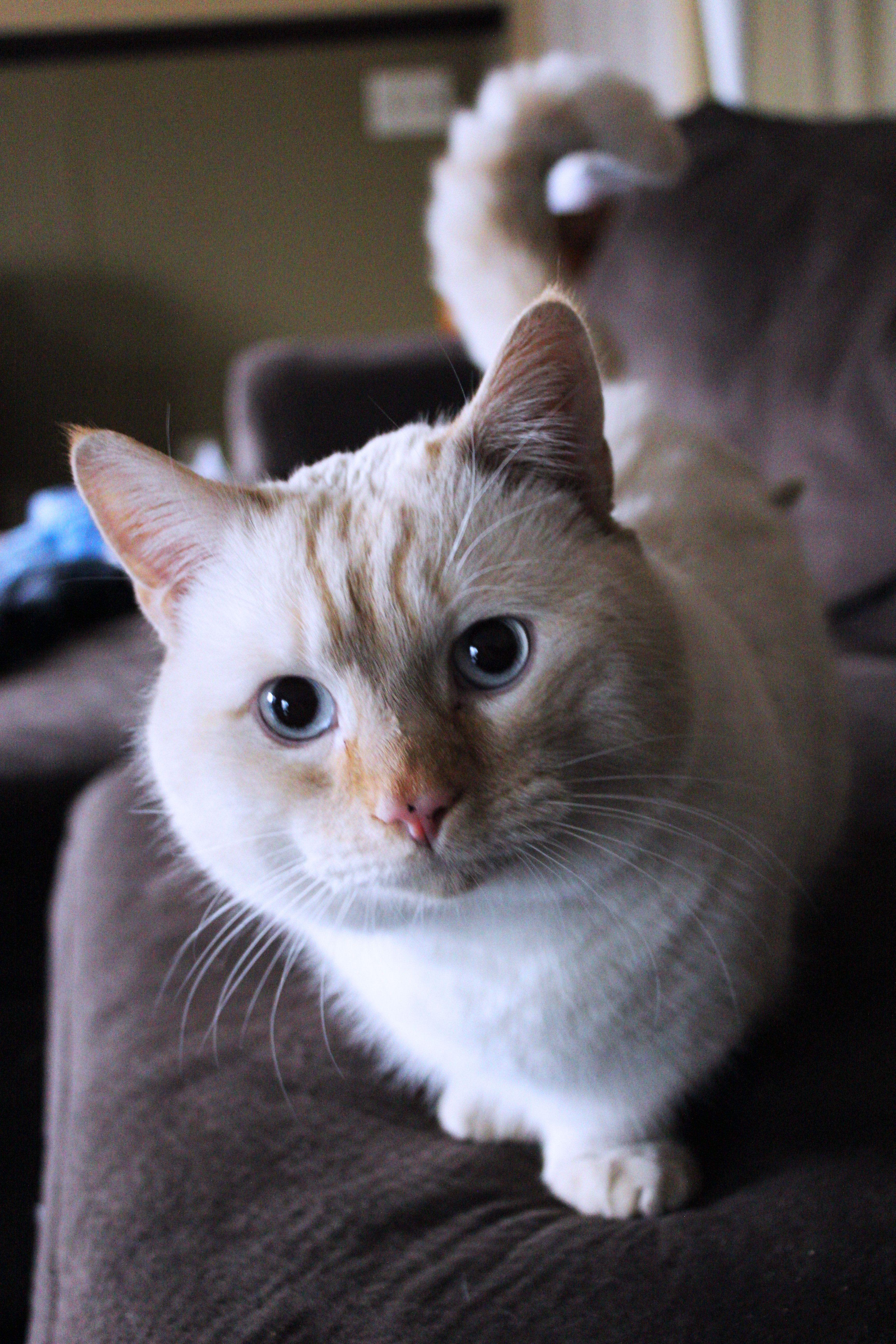 Munchkin Cat Stevie Wonderbread Flame Point Siamese Munchkin Cat