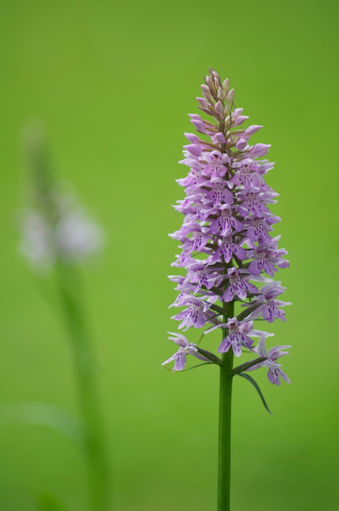 british wild orchids in bloom by tanya cox