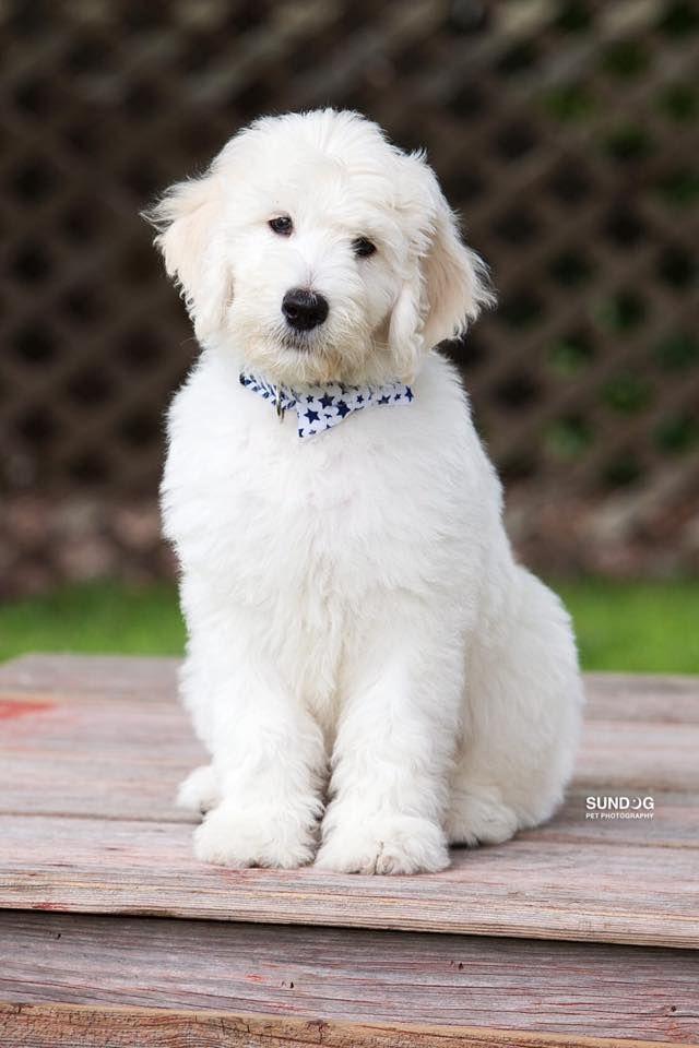 English Goldendoodle English Goldendoodle Puppies Cute Dog