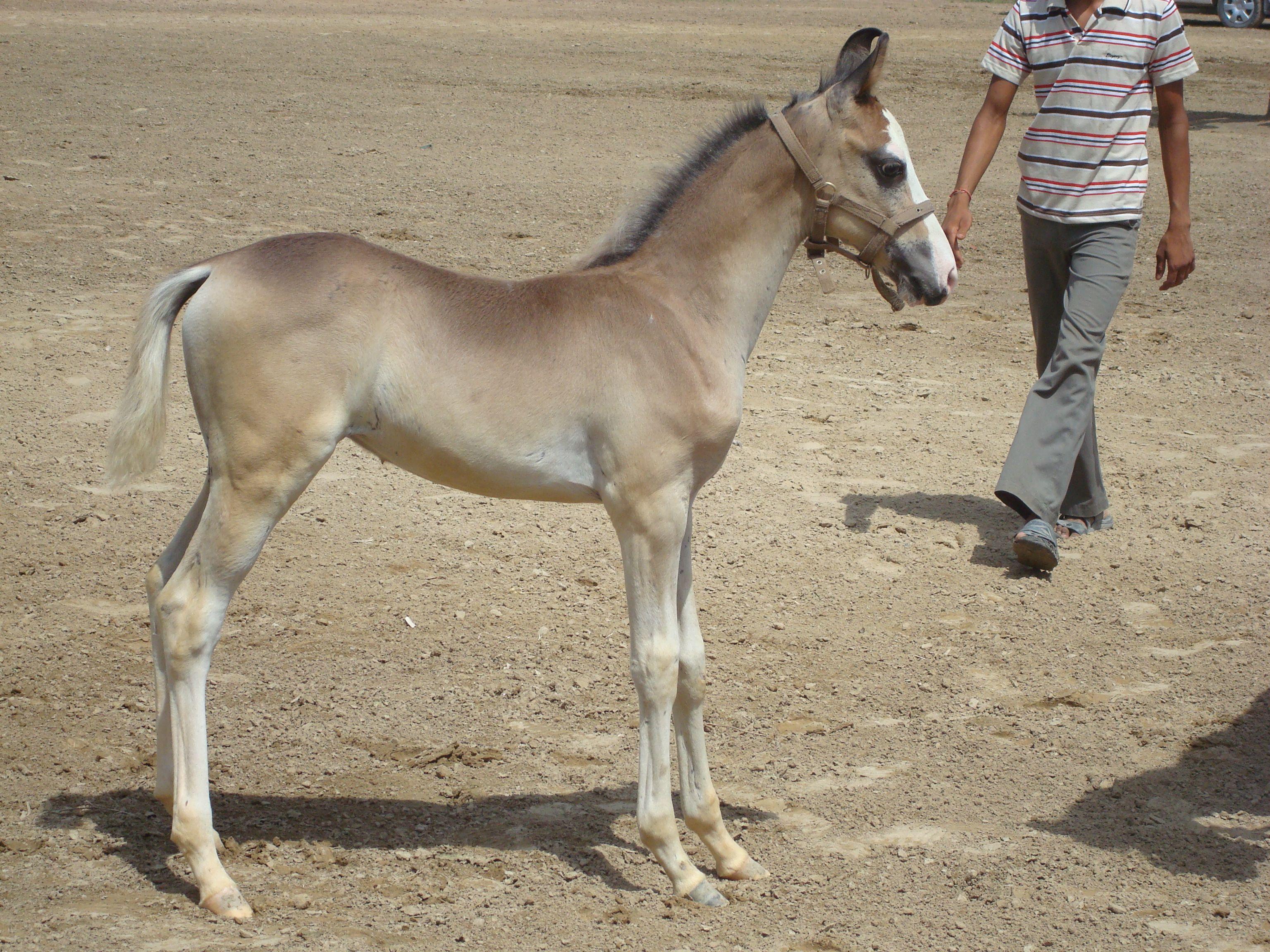 Horse Marwari foal pictures