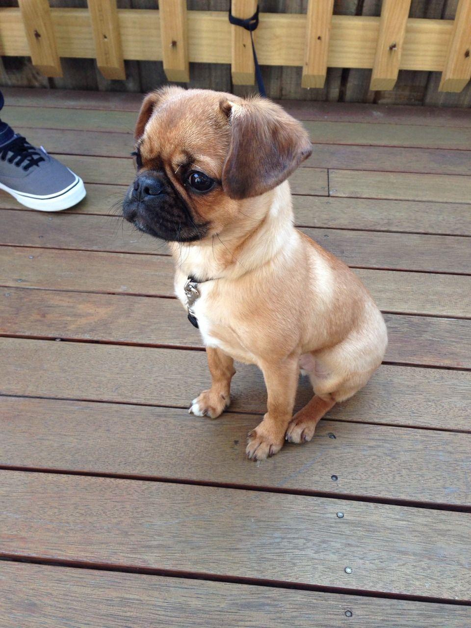 Pugalier Pug X King Charles Cavalier I Want One So Bad Cute Dog
