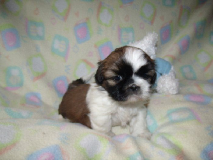 From Upstate New York This Shih Tzu Is My Favorite Pic Of The Day Fun Fact Known Descendant Of The Prehistoric Chinese Wolf A Shih Tzu Furry Friend Puppies
