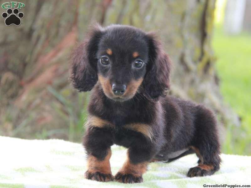 Bibi Dachshund Puppy For Sale In Pennsylvania Dachshund