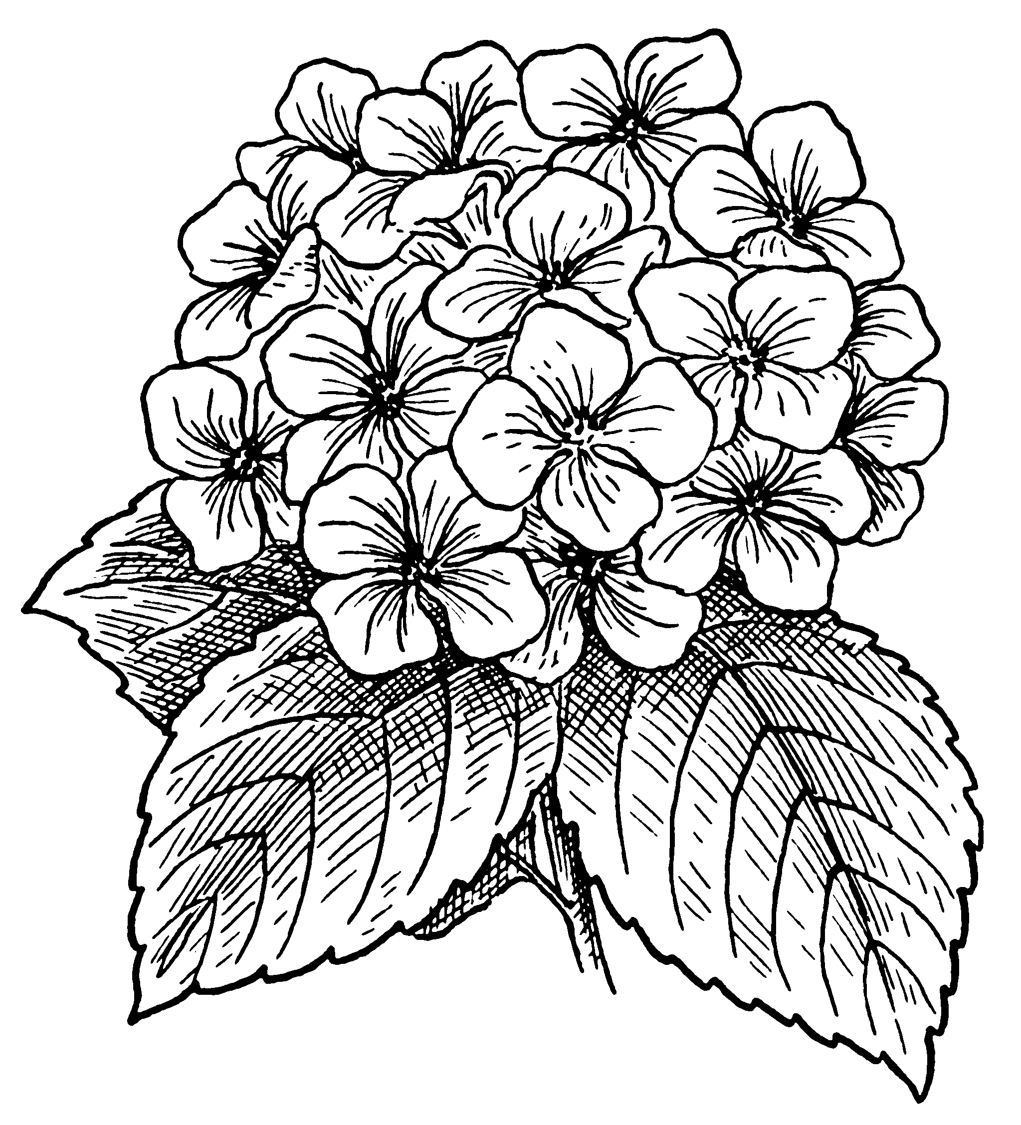 Hydrangea flower coloring pages - Hydrangea Flowers Drawing