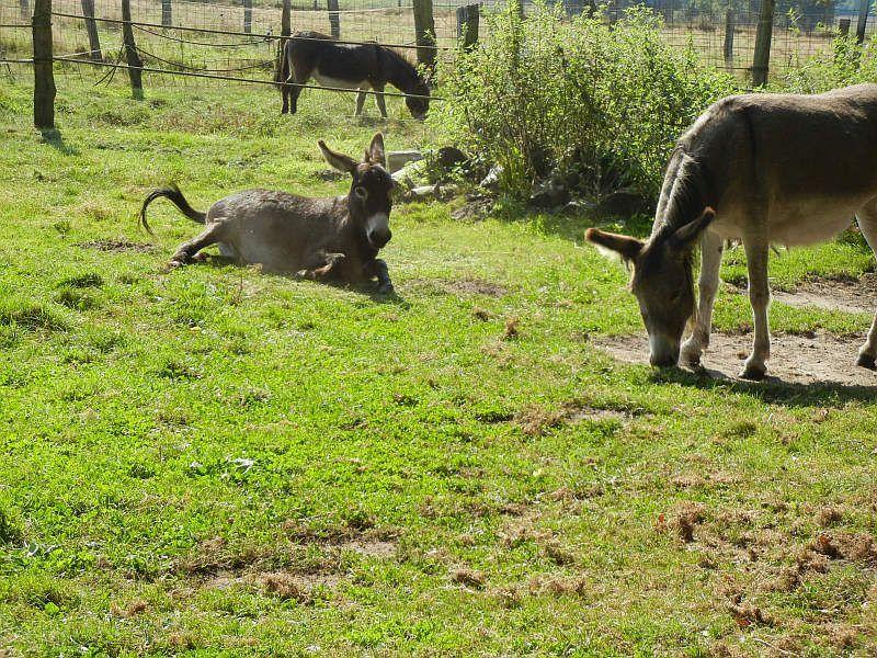 Courtesy: RoverStar Eselfarm, Scheeßel (Deutschland).