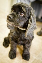 Adopt Maggie On Cute Animals Cocker Spaniel Puppies Spaniel