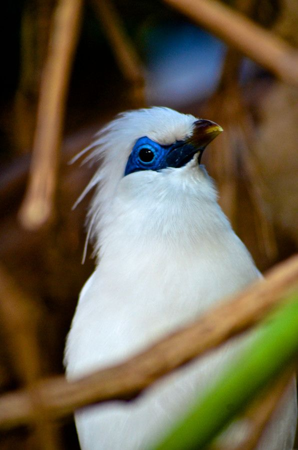Bali Starling by Rob Dalby on 500px