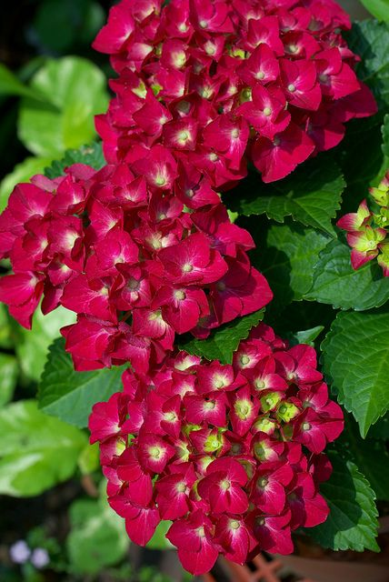 hydrangea macrophylla fo normalis rotschwanz. Black Bedroom Furniture Sets. Home Design Ideas