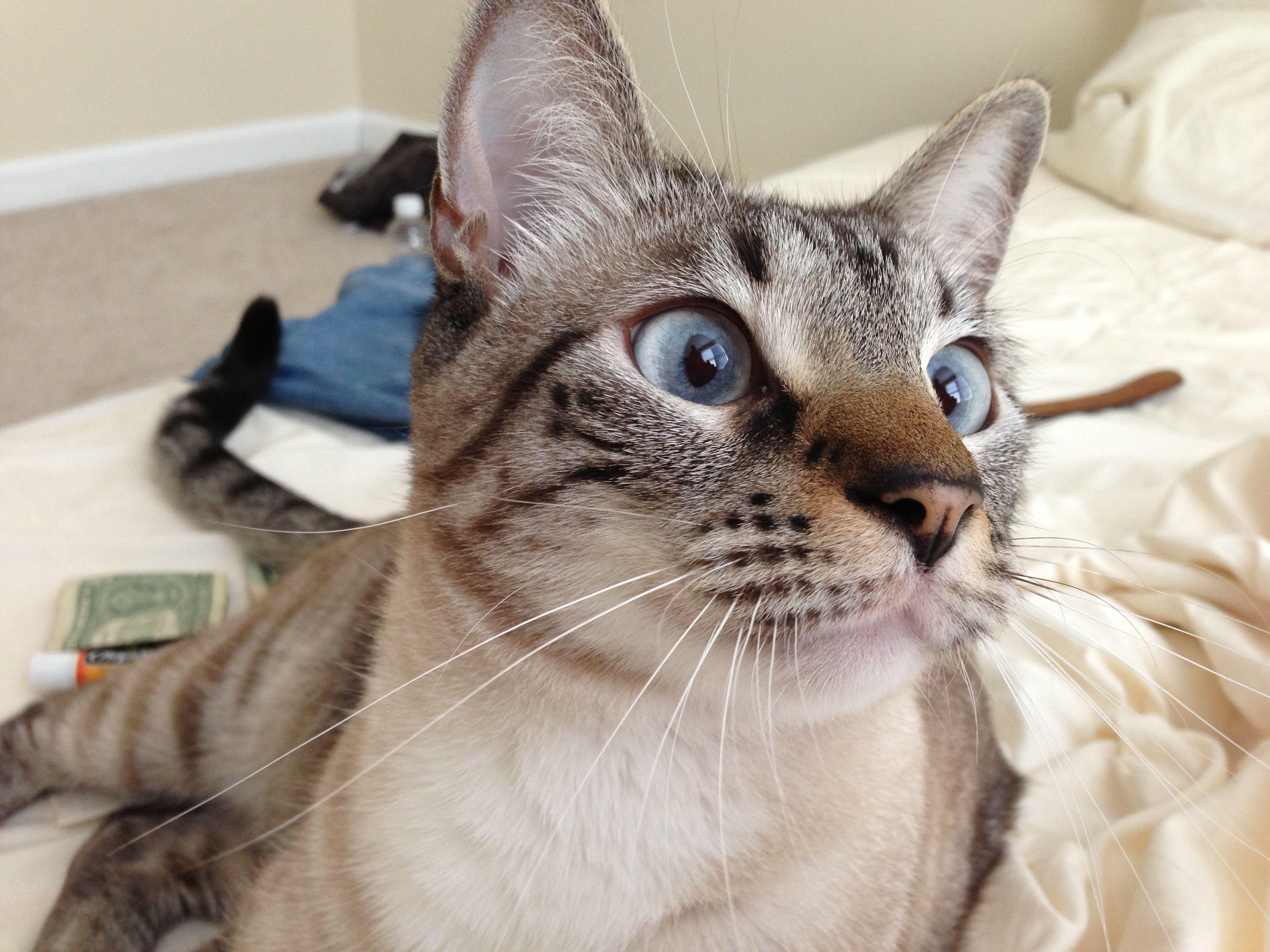 Simon, Siamese Lynx Points. Siamese cats, Siamese, Cats
