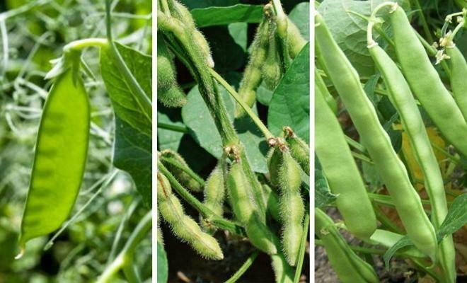 Mature Bean Plant