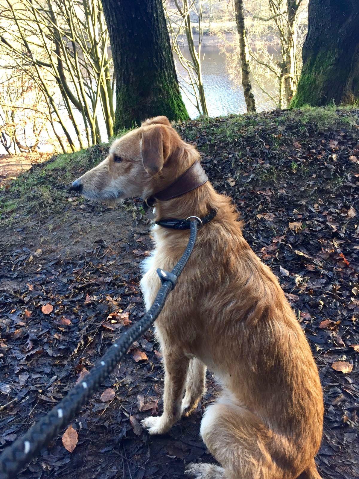Ricky A Deerhound Irish Terrier Saluki Cross Rescue Dog Adorable Lurcher Irish Terrier Deerhound