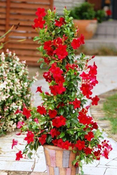 Image Result For Sun Parasol Crimson Mandevilla Care Dream Garden