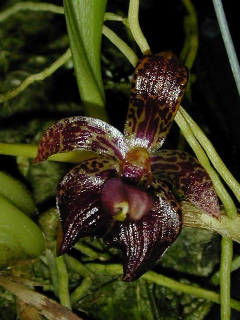 Andyus orchids u orchid species u bulbophyllum u cornutum orchid