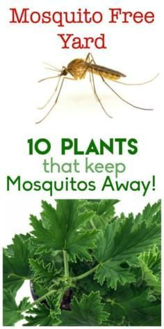 10 Plants to Keep Mosquitos Away #outdoorgardens