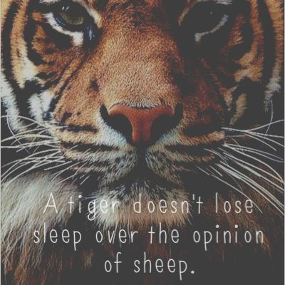 A Tiger Doesn T Lose Sleep Over The Opinion Of Sheep With Images
