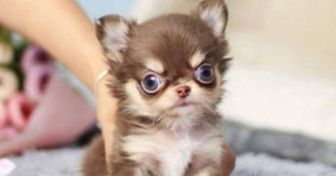 Purebred teacup puppies for sale healthy trained teacup