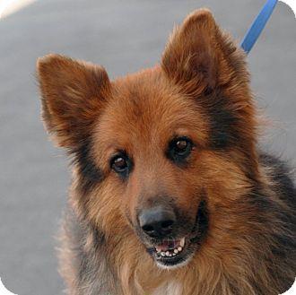 Shepherd Unknown Type Mix Dog For Adoption In Palmdale California Big Buddy Dog Adoption Dutch Shepherd Dog German Shepherd Adoption