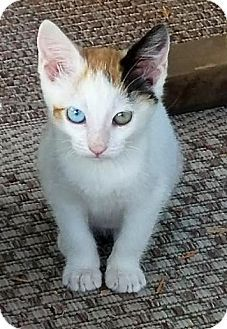Calico Kitten For Adoption In San Diego California Thelma With