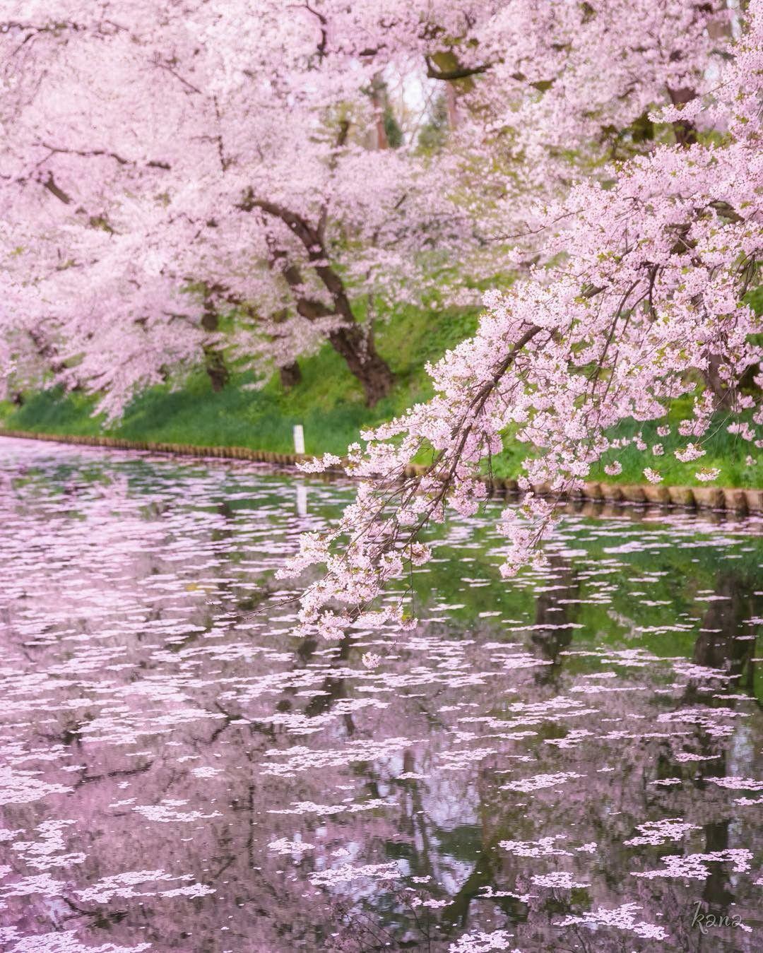 Japan Sakura Blossom Trees Scenery Sakura Cherry Blossom