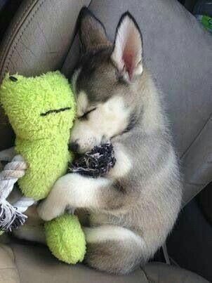 Folgen Sie für mehr niedlich Welpe | Hund | Tier | Haustiere,  #folgen #für #Haustiere #Hund ... #cutepuppies #miniaturehusky