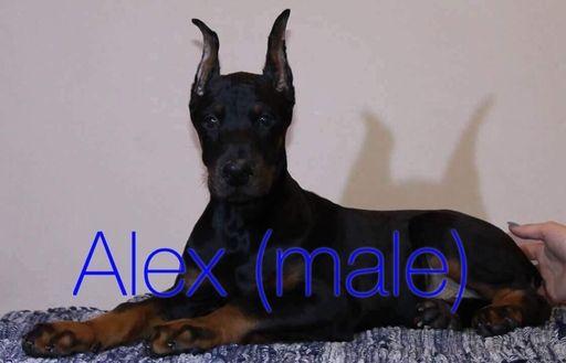 Doberman Pinscher Puppy For Sale In Murrieta Ca Adn 55032 On Puppyfinder Com Gender Male Age 4 Months O Doberman Pinscher Puppy Doberman Doberman Pinscher