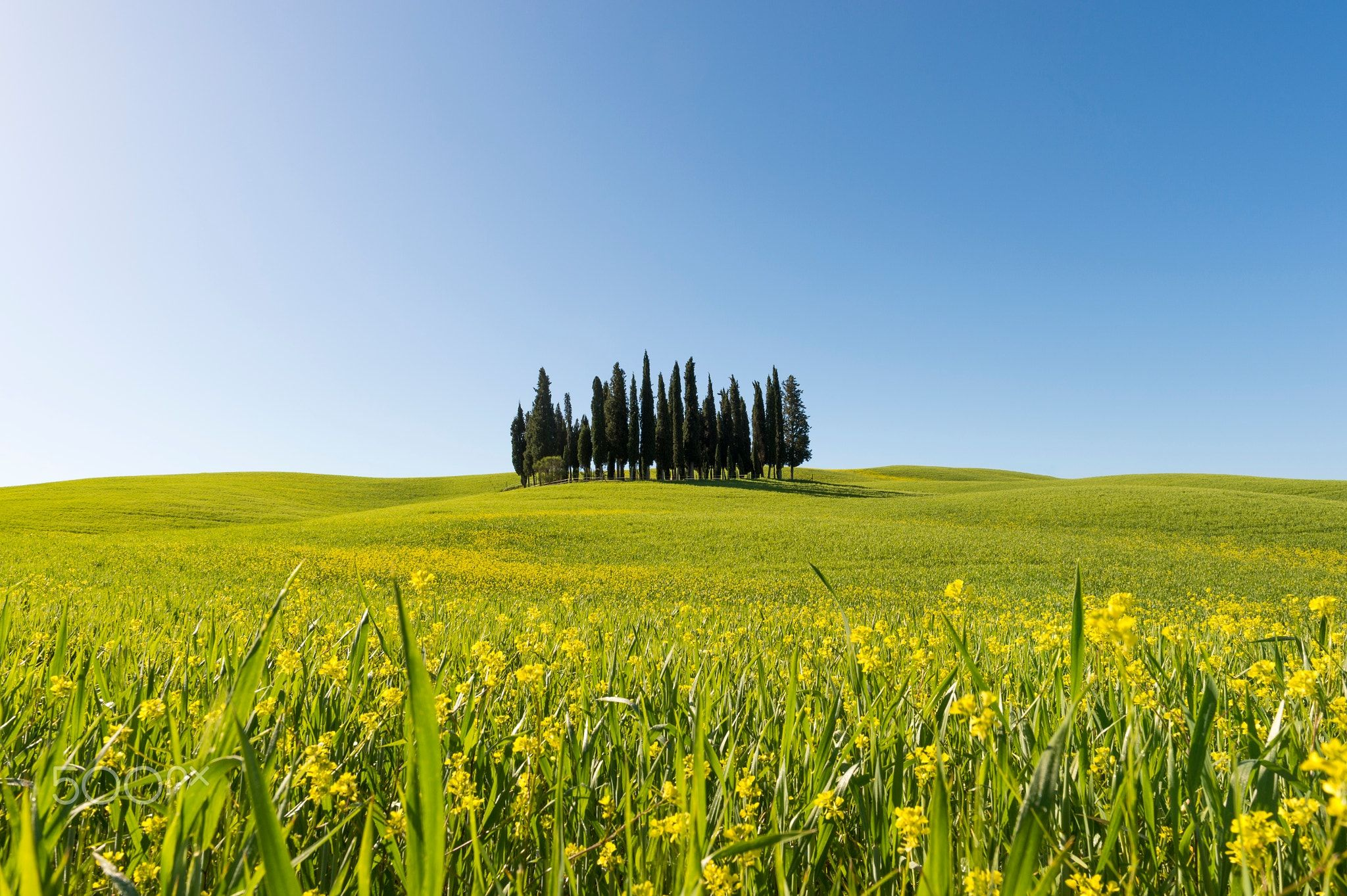 Fiori Gialli Toscana.Cypress Cypress Trees In A Green Meadow With Yellow Flowers In