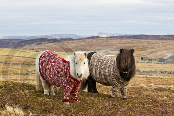 Fivla & Vitamin I, the Shetland ponies in their Fair Isle ...