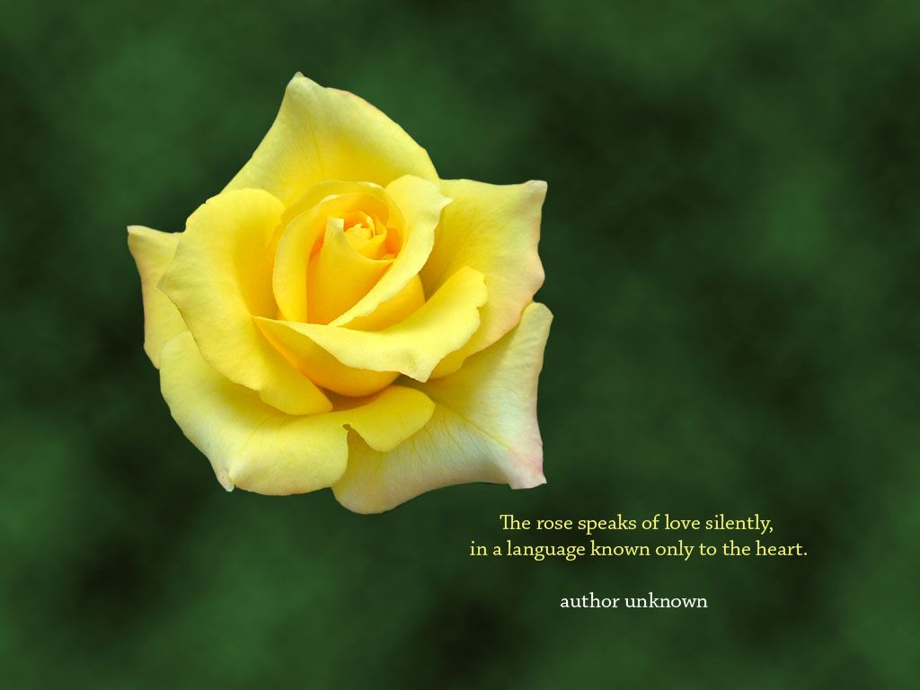 Yellow Rose Are A Traditional And Time Honored Symbol Of
