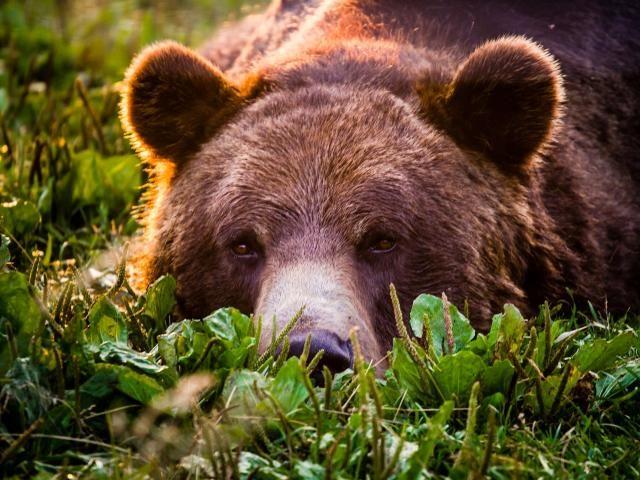 Bear Grizzly Look Bear wallpaper, Bear face, Bear