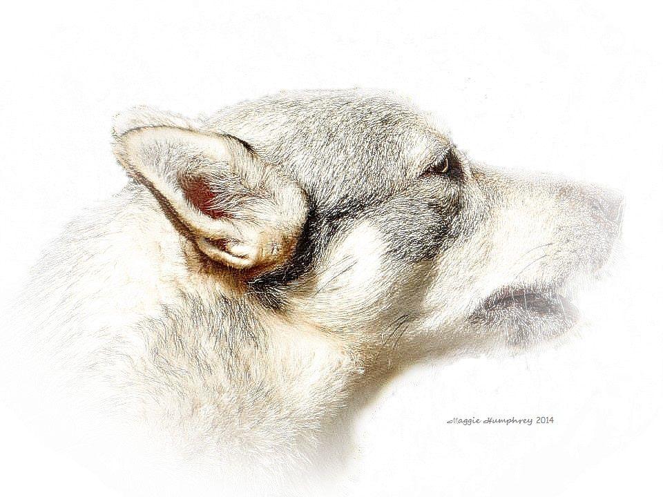 Portrait of an Alsatian Puppy