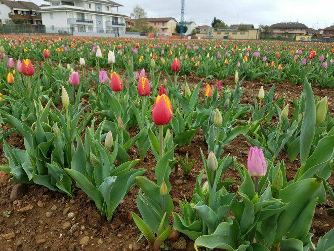 I tulipani di Cornaredo pronti ad accogliere i visitatori: orari di apertura e info utili