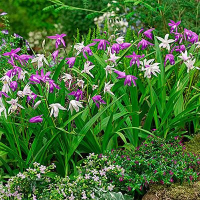 Hardy Ground Orchid Mix (Bletilla striata) | flowers to buy | Ground ...