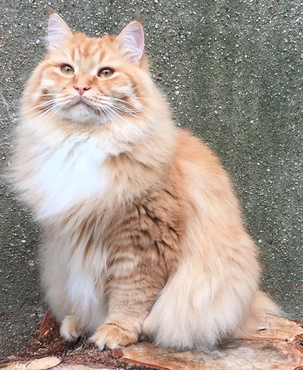 Regal Siberian Cattery In 2020 Siberian Cat Siberian Forest Cat Siberian Kittens