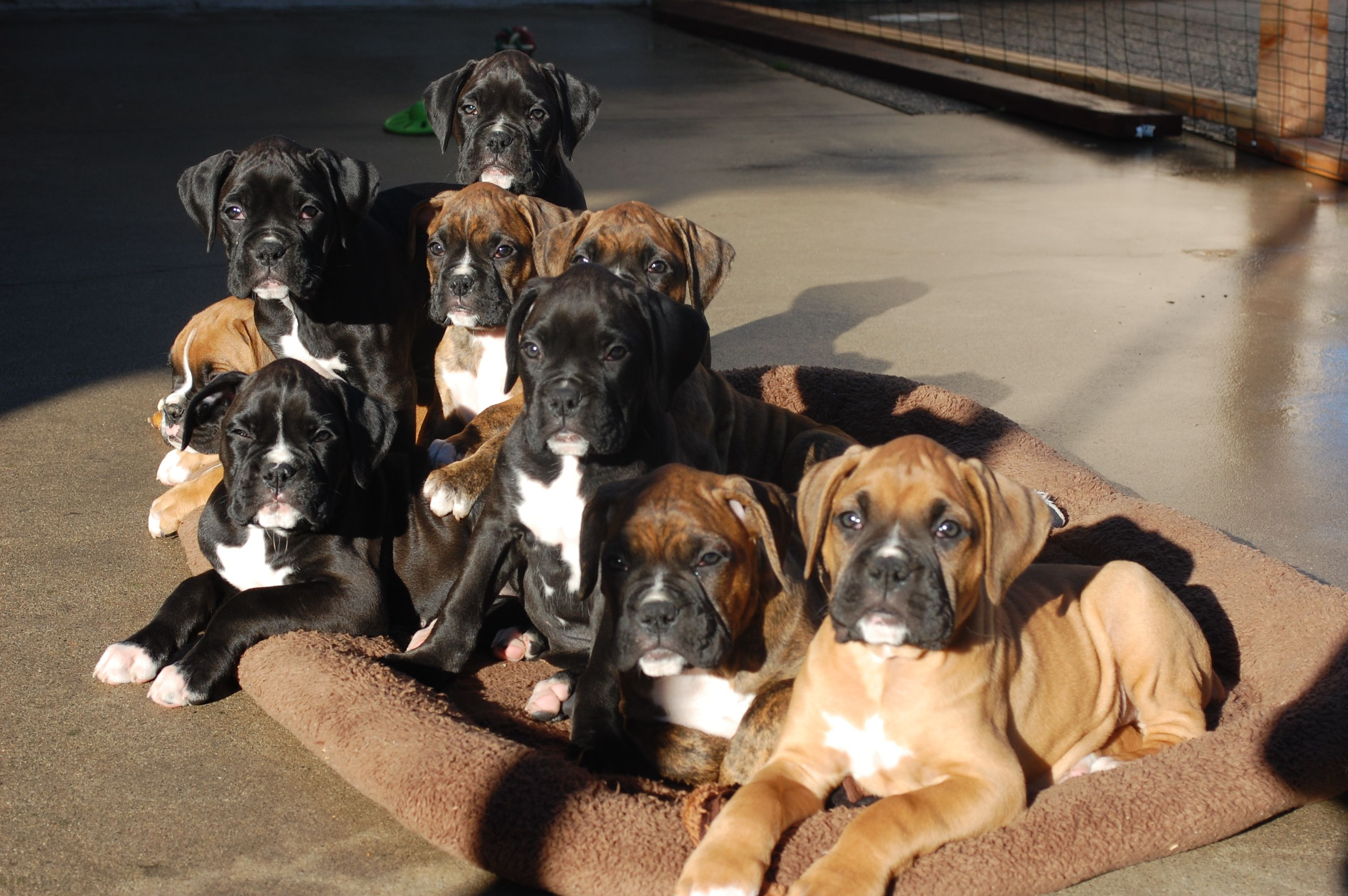 Nine Boxer puppies - oh stop my beating heart, I can't take any more cuteness!!!!!
