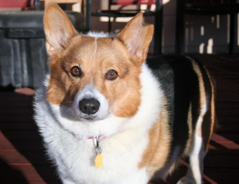 Meet George An Adoptable Welsh Corgi Looking For A Forever Home