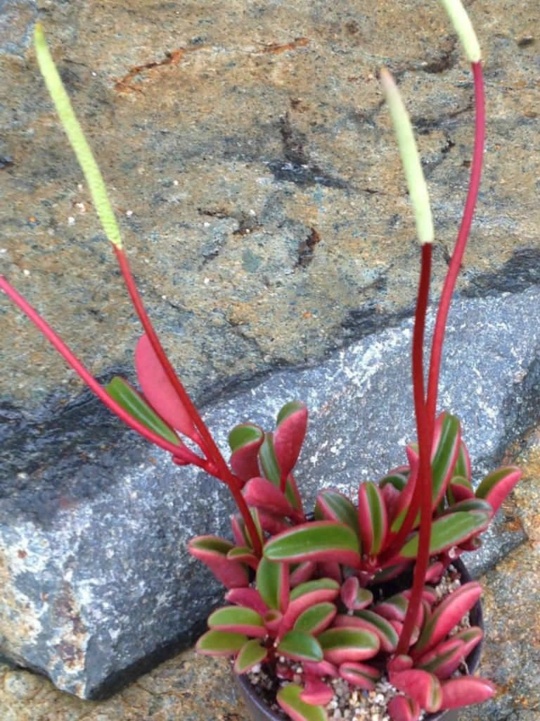 Peperomia Graveolens Ruby Glow Peperomia See More At Con