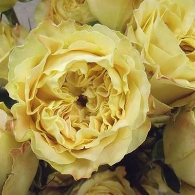 Scented Rose Garden Turtle Scented 45cm Is A Beautiful Yellow Garden Style Rose Wholesaled In Batches Of 1 David Austin Roses Garden Flowers Rose Varieties