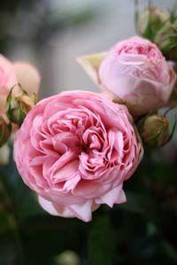 Bridal Piano Garden Rose