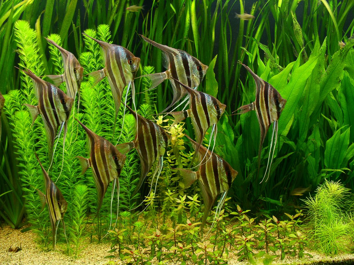 Freshwater aquarium fish angelfish - Altum Angelfish In Planted Aquarium