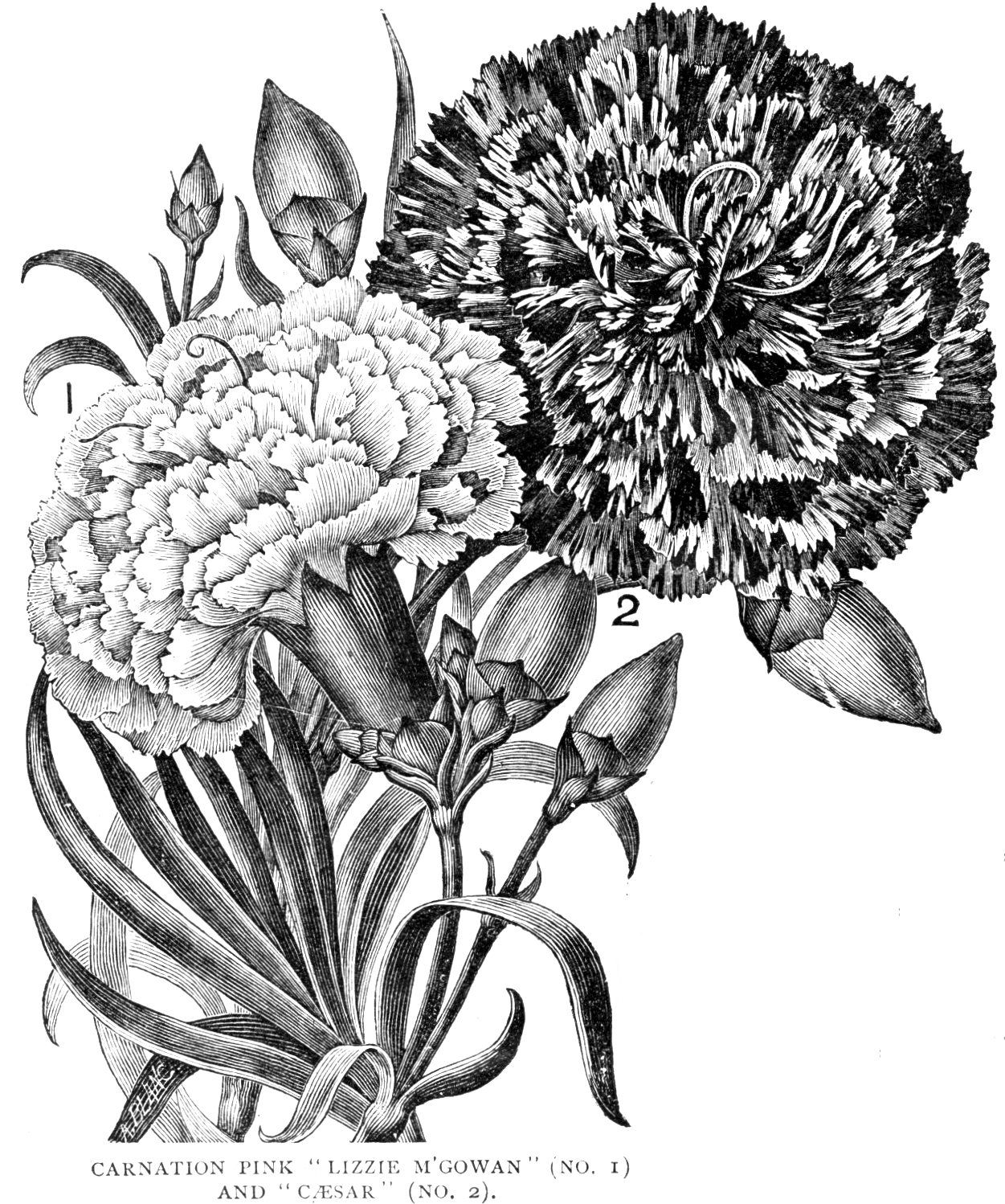 Digital Two For Tuesday Carnations Flower Drawing Digital Flowers