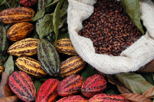 lovely cacao pods